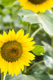 sunflower flowers Royalty Free Stock Photo