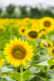 sunflower flowers stock images