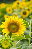 sunflower flowers Royalty Free Stock Photos