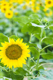 sunflower flowers stock photography