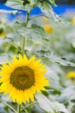 sunflower flowers royalty free stock photography