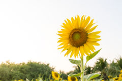 Sunflower. The flowers of Pride Anger is not popular to do.  My dear , stable and loyal to her. Be like sunflowers who never turned anyone besides the sun Stock Photo