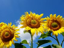 Sunflower flowers on a sunny day. Fragment of a beautiful field with sunflower in Russia Stock Photography