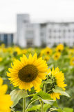 sunflower flowers and teaching building stock images
