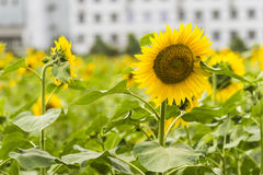 sunflower flowers and teaching building stock photos