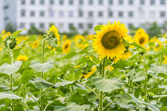 sunflower flowers and teaching building Royalty Free Stock Images