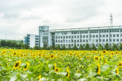 sunflower flowers and teaching building Stock Image