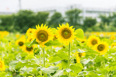 sunflower flowers and teaching building Royalty Free Stock Image