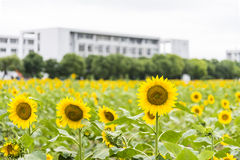 sunflower flowers and teaching building Stock Photo
