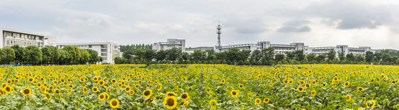 sunflower flowers and teaching building Royalty Free Stock Photography