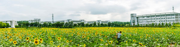 sunflower flowers and teaching building Royalty Free Stock Photo