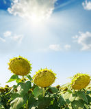 Sunflower after flowing under blue sky with  sun Royalty Free Stock Photos