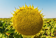 Sunflower after flowing Royalty Free Stock Photos