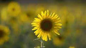 Sunflower stock video