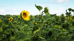 Sunflower in the foreground. On a summer day Royalty Free Stock Images