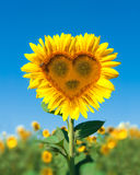 Sunflower in the form of heart Royalty Free Stock Photos