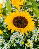 The sunflower in the formal garden. Sunflower named after the dialect of West fried lotus plant that same year Annual plant in the Asteraceae are eclectic base Stock Image