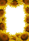 Sunflower frame. Many yellow sunflower heads make up frame with isolated center Royalty Free Stock Photography