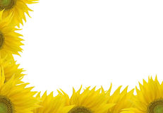 Sunflower frame. Frame from sunflowers, isolated on white stock photos