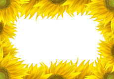 Sunflower frame. Frame with sunflowers over the white royalty free stock images