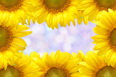 Sunflower frame. Closeup beautiful blossom sunflower isolated on white background Stock Photography
