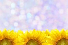 Sunflower frame. Closeup beautiful blossom sunflower isolated on white background Stock Image