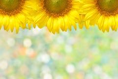Sunflower frame. Closeup beautiful blossom sunflower isolated on white background Royalty Free Stock Photo