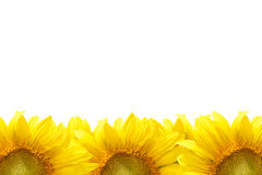 Sunflower frame. Closeup beautiful blossom sunflower isolated on white background Royalty Free Stock Photos