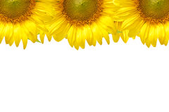 Sunflower frame. Closeup beautiful blossom sunflower isolated on white background Royalty Free Stock Photography