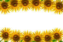 Sunflower frame isolated on white background. Royalty Free Stock Photography