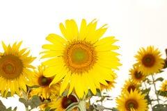 Sunflower Frame . On white background Royalty Free Stock Photo