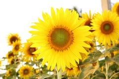 Sunflower Frame . On white background Stock Photography