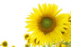 Sunflower Frame. Stock Images