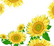 Sunflower framework  Royalty Free Stock Photo