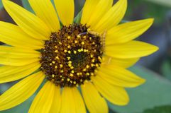 Sunflower and Friends royalty free stock photo