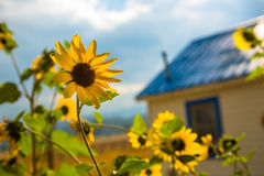 Sunflower. In Front of Blue House stock photography