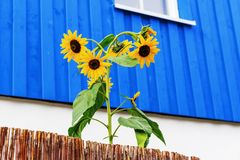 Sunflower in front of a blue house Royalty Free Stock Photos