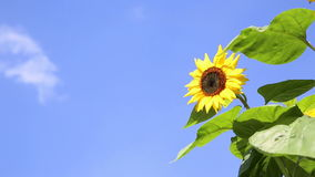 Sunflower in front of an blue sky with clouds stock video