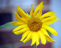 A  sunflower in front of a brick wall Royalty Free Stock Photography