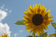 Sunflower. In front of bright blue sky royalty free stock image
