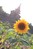 Sunflower in front of the church. In the morning stock image
