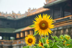 Sunflower in front of the entrance door from the imperial city, Hue, Vietnam. On a foggy day. Stock Photography