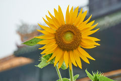 Sunflower in front of the entrence door from the imperial city, Hue, Vietnam. Stock Photography