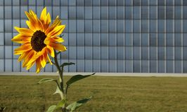 Sunflower in front of modern building. Sunflower in front of a modern building with shutters Royalty Free Stock Photos