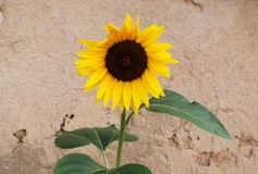 Sunflower in front of old adobe wall Royalty Free Stock Photo