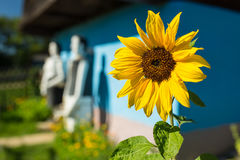 Sunflower. In front of old wooden house Stock Image