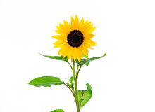 Sunflower in front of white background Stock Photo