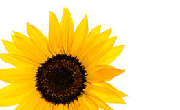 Sunflower in front of white background Royalty Free Stock Photo
