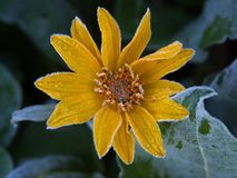 Sunflower Frost Stock Image