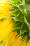 Sunflower in full bloom Royalty Free Stock Photos